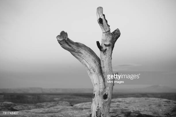 A dead tree trunk on Muley Point, overlooking San Juan Canyon, Bears Ears National Monument, Utah