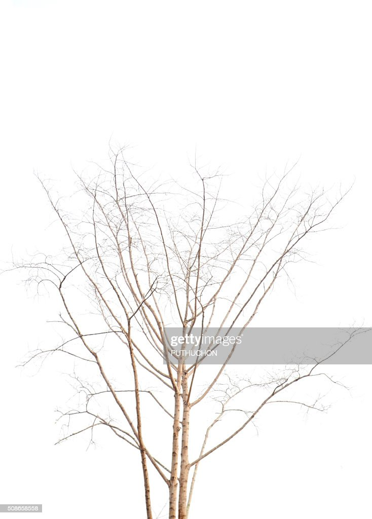 Dead tree with curved branches : Stock Photo
