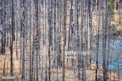 Dead trees as a result of fire