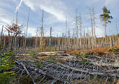Dead trees in Bavarian forest because of acid rain.