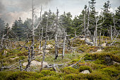 Pine trees have died and fallen killed by acid rain. The branches are broken and the bark is falling away to expose the wood beneath. Moss grows on a rock and ground growing covering plants grow all a