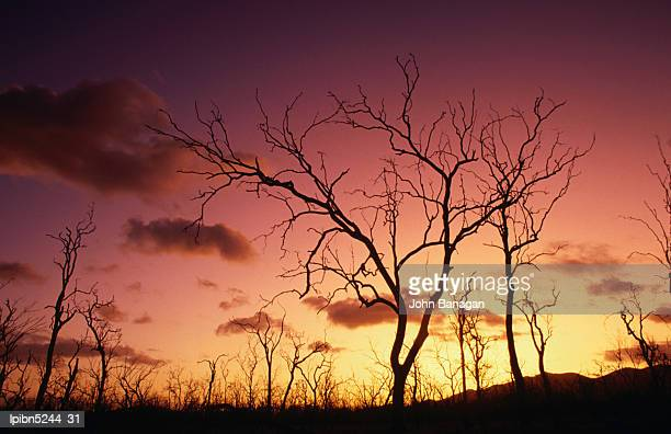 Dead trees silhouetted at sunset, Airlie Beach, Queensland, Australia, Australasia