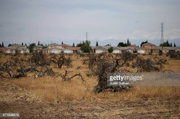 Dead trees stand in a field on April 24 2015 in Fresno California As California enters its fourth year of severe drought farmers in the Central...