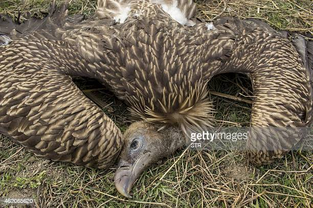 A dead vulture lies outside the Panidihing Bird Sanctuary in the Sivasagar district of northeastern Assam state on January 24 2015 At least 60...