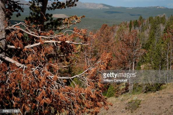 Dead white bark pine trees in Yellowstone National Park The high altitude tress were killed by mountain pine bark beetles Scientists have attributed...