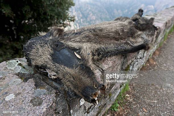 A dead wild boar that's been run over and is flattened