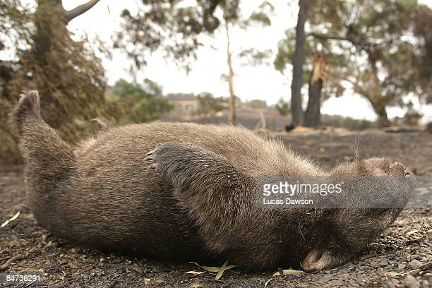 A dead wombat lies in a paddock in the aftermath of a bushfire which continues to blaze across Victoria at Steels Creek on February 11 2009 in Steels...