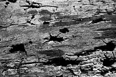 Termites eating a log in black and White