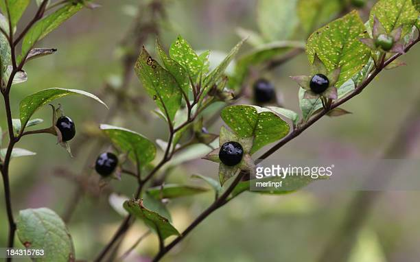 Deadly Nightshade Atropa Belladonna