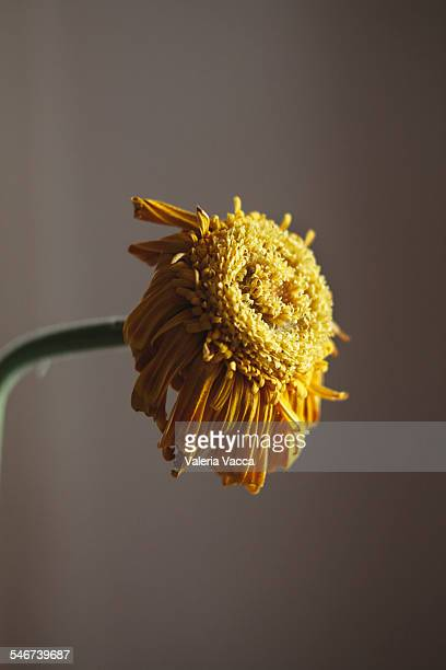 Death Becomes Her - Dying gerbera daisy flower