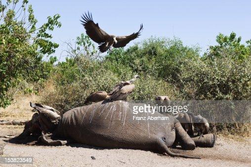 Death in the savanna : Stock Photo