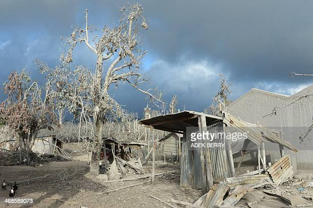 Debris and tress covered with dust after volcanic eruptions from Mount Sinabung at the abondoned village Kutarayat in Karo on February 8 2014 More...