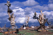 CONTENT] Debris wrapped around debarked trees at around 2219 Indiana Ave in Joplin Missouri May 25 2011 This was shot across the street from the...