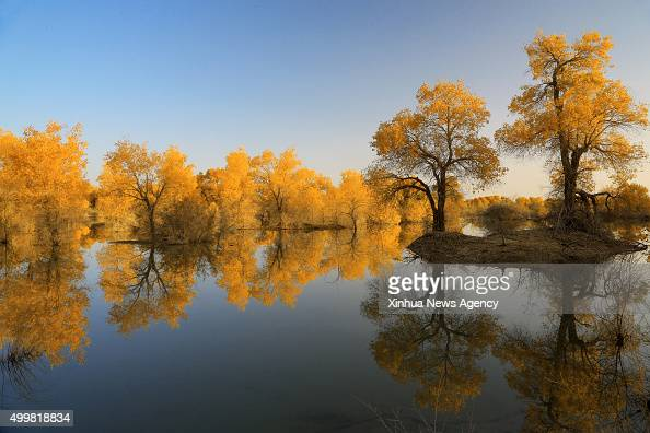 BAYINGOLIN Dec 3 2015 Photo taken on Oct 14 2015 shows the forest of populus euphratica commonly known as desert poplar in Luntai County Mongolian...