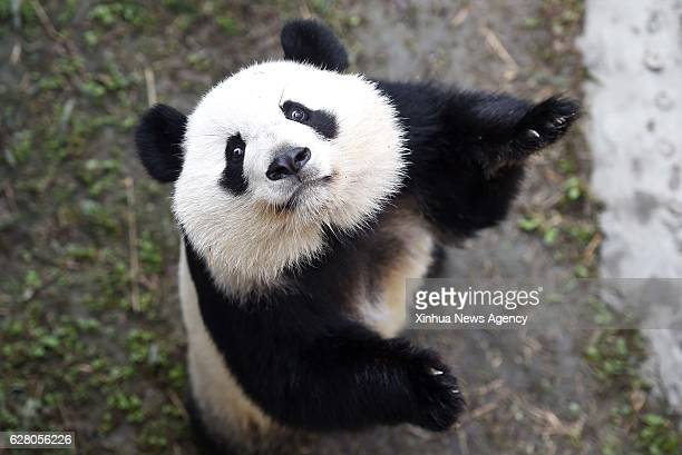 CHENGDU Dec 6 2016 Giant panda Meihuan plays at the Chengdu Research Base of Giant Panda Breeding in Chengdu southwest China's Sichuan Province Dec 6...