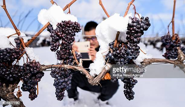 TONGHUA Dec 9 2016 A journalist takes photos of the frozen grapes in Ji'an of Tonghua City northeast China's Jilin Province Dec 7 2016 As a dessert...