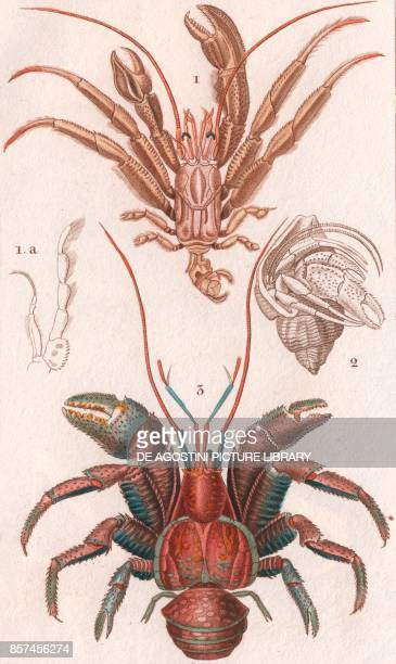 1 Pagurus excavatus 2 Hermit crab inside a shell Coconut crab or Robber crab colour copper engraving retouched in watercolour 9x15 cm from Dizionario...