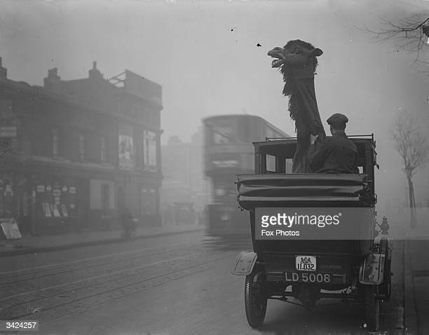 A pantomime camel needs the hood down to fit into a taxi cab in Kennington London