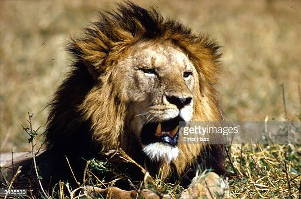 A male lion still on guard even when lying down