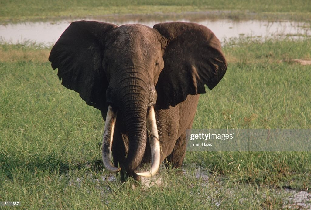 An African elephant with long curved tusks and the large ears which distinguish it from its Indian relative.
