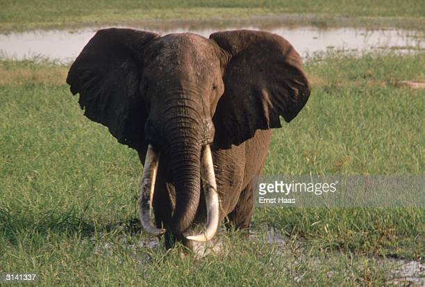 An African elephant with long curved tusks and the large ears which distinguish it from its Indian relative