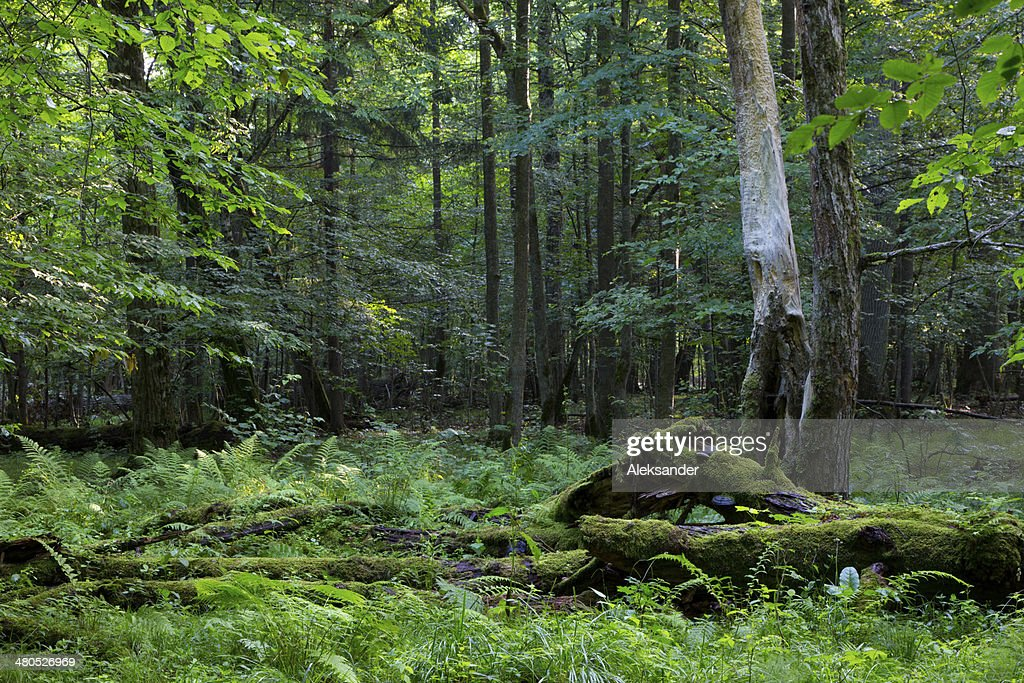 Deciduous stand in summer morning : Stock Photo