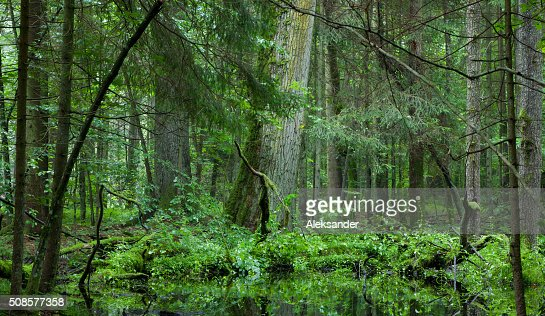 stand deciduo di Foresta di Bialowieza in estate : Foto stock