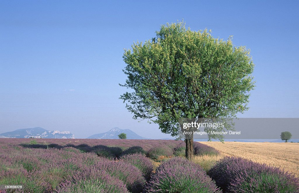 Deciduous tree in Lavender field, La Begude-Blanche, Provence, Southern France / (Lavendula angustifolia)