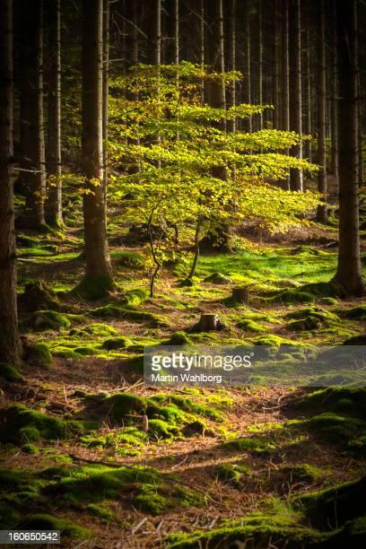 Laubbaum in Fichtenwäldern