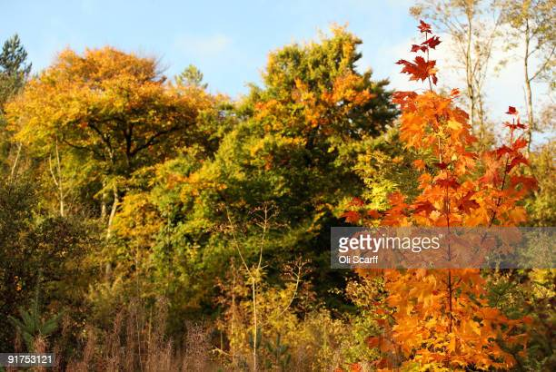 Deciduous trees display autumn colours in Wendover Woods on October 11 2009 in Buckinghamshire England The Forestry Commission woods are situated on...