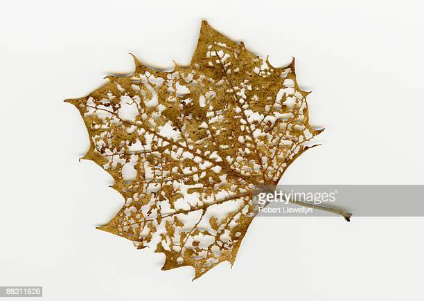 Decomposing maple leaf