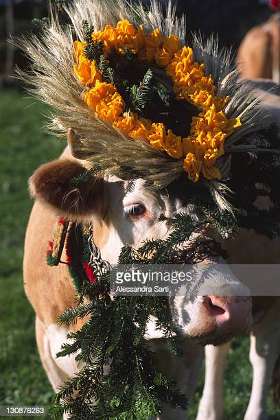 Decorated cow, transhumance, North Tyrol, Austria, Europe