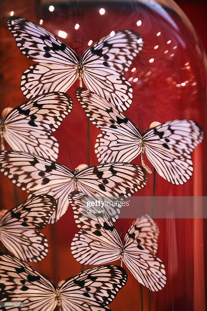 A decorative butterfly display beneath a glass dome, which is expected to fetch 1,800 GBP, is displayed in Bonhams auction house ahead of their forthcoming 'Gentleman's Library Sale', on January 24, 2013 in London, England. The auction includes an eclectic mix of rare items such as a pygmy hippo skeleton, a cigar that belonged to Winston Churchill and a MI9 spy catalogue. It will take place in Bonhams Knightsbridge on January 29 and 30, 2013.