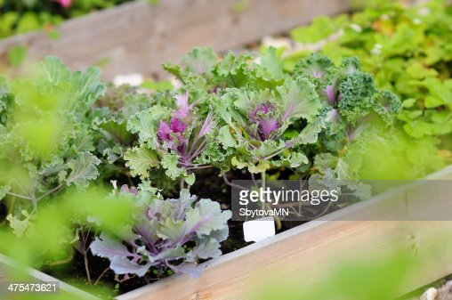Decorative cabbage seedlings : Stock Photo