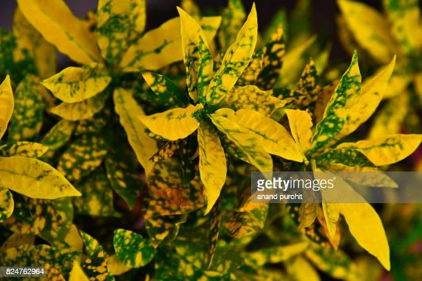 Decorative plant for garden