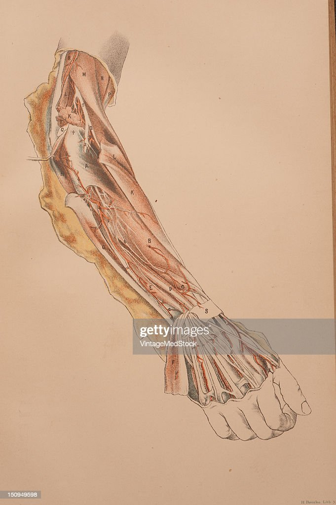 Deep muscles of the back of the forearm and the posterior interosseous artery and nerve 1882 From 'Illustrations of Dissections in a Series of...