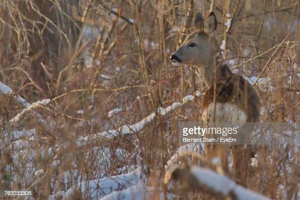 Deer Amidst Dried Plants During Winter