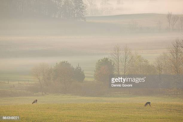 Deer and fog at cades cove