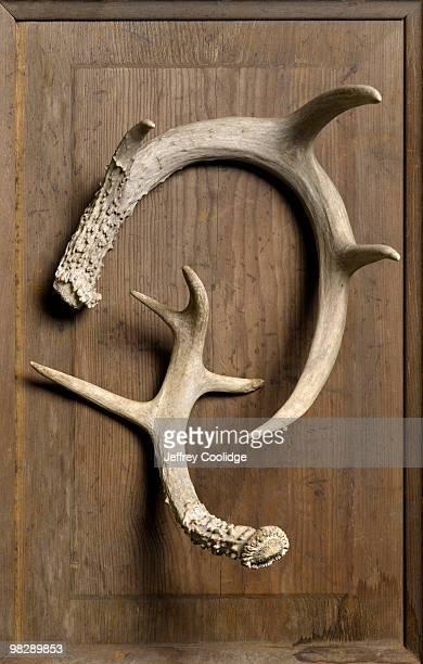 Deer Antlers, Still Life