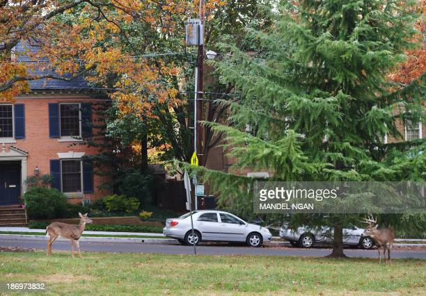 Deer are seen on the lawn of Annunciation Catholic Church on November 5 2013 in Washington DC According to State Farm insurance November is the month...