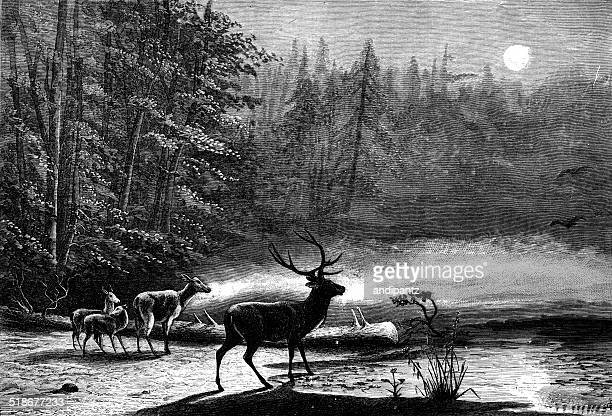 Deer de nuit