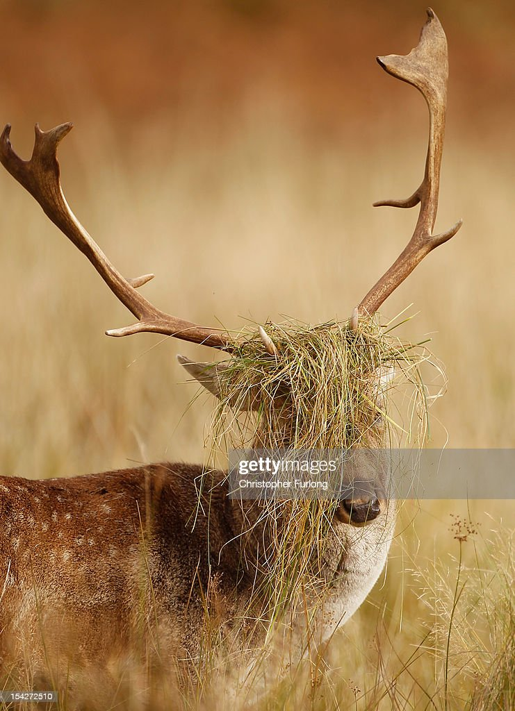 A deer buck displays his grass covered antlers at the National Trust's Dunham Massey park. Bucks rub their antlers in long grass during the rutting season and is a sign of Autumn on October 17, 2012 in Knutsford, England. As summer draws to a close the cooler temperatures bring on the Autumn foliage colours.