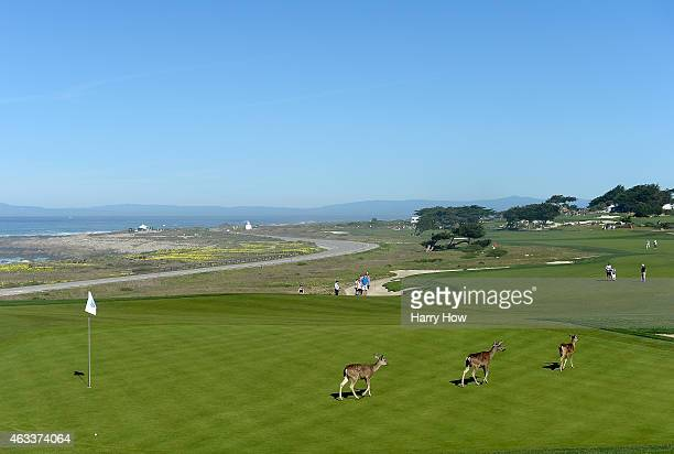 Deer cross the 12th green during the second round of the ATT Pebble Beach National ProAm at the Monterey Penninsula Country Club on February 13 2015...