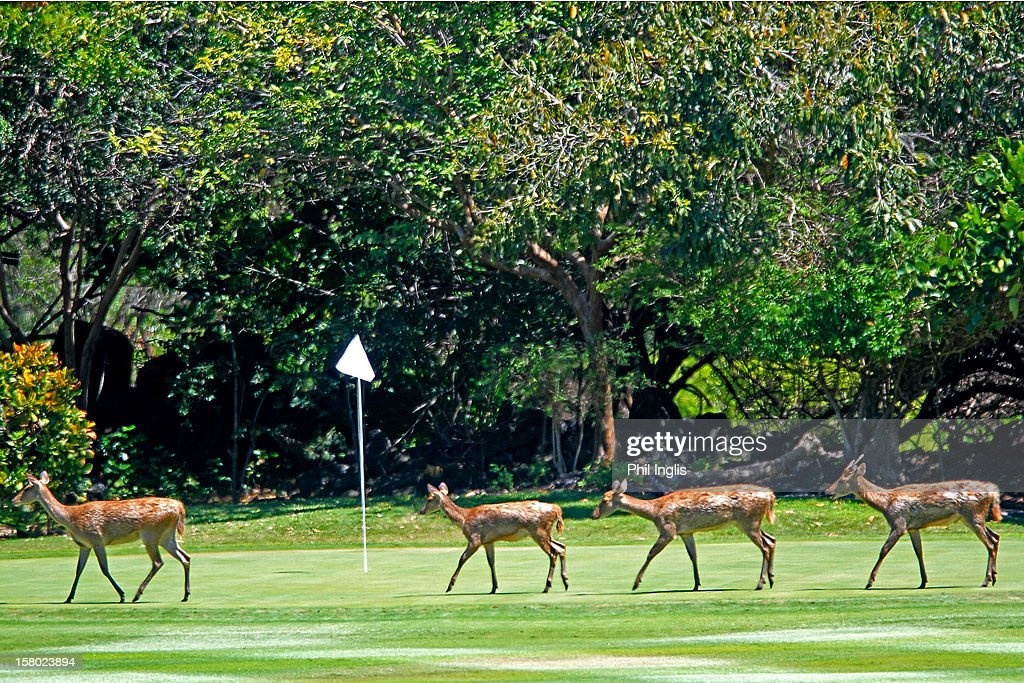 Deer cross the 5th green during the final round of the MCB Tour Championship played at the Legends Course, Constance Belle Mare Plage on December 9, 2012 in Poste de Flacq, Mauritius.