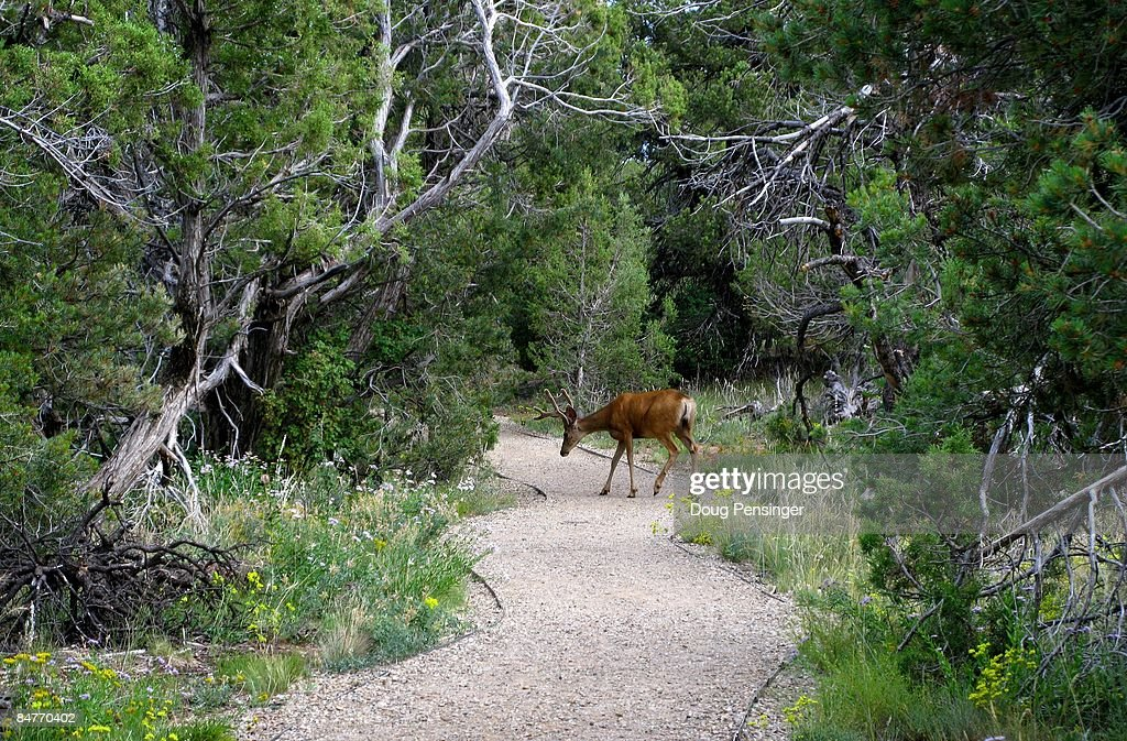 A deer crossing a walking path is just some of the wildlife seen by visitors to Mesa Verde National Park on August 7, 2008 in Mesa Verde, Colorado. Mesa Verde, Spanish for green table, offers a spectacular look into the lives of the Ancestral Pueblo people who made it their home for over 700 years, from A.D. 600 to A.D. 1300. Today, the park protects over 4,000 known archeological sites, including 600 cliff dwellings. These sites are some of the most notable and best preserved in the United States.
