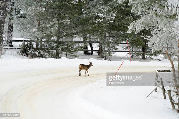 Deer crossing im winter road