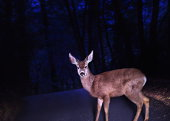 Deer (Cervidae) crossing road, caught in headlights (Composite)