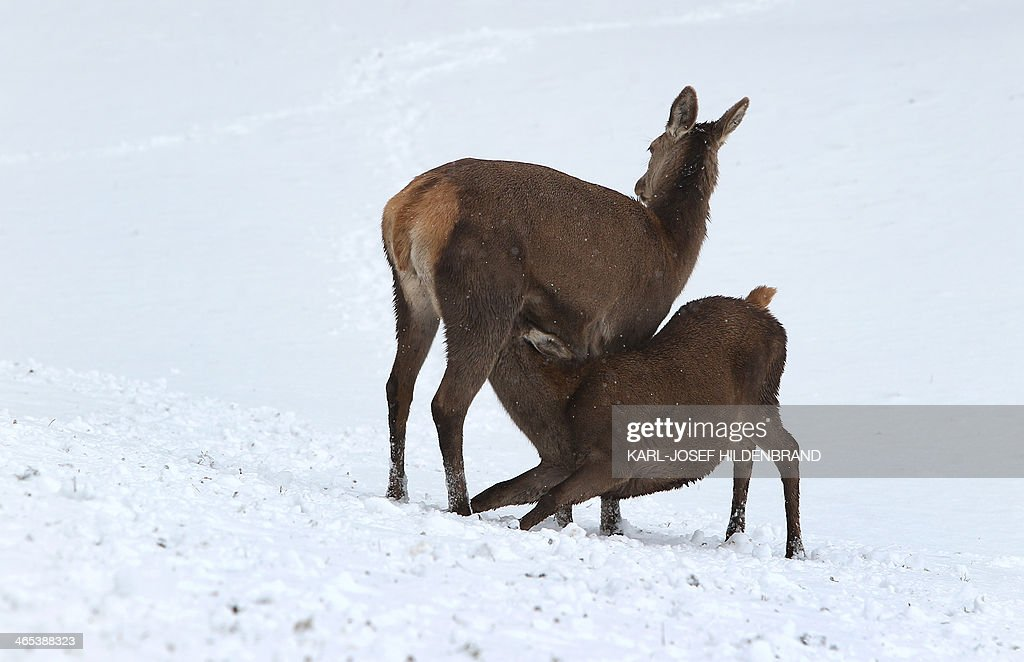 A deer cub sucks its mother in snow in a game reserve on January 26, 2014 in Bernbeuren, Germany.