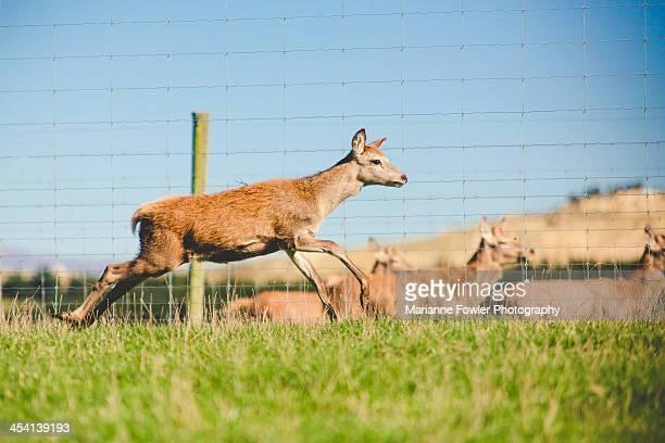 Deer farm in New Zealand