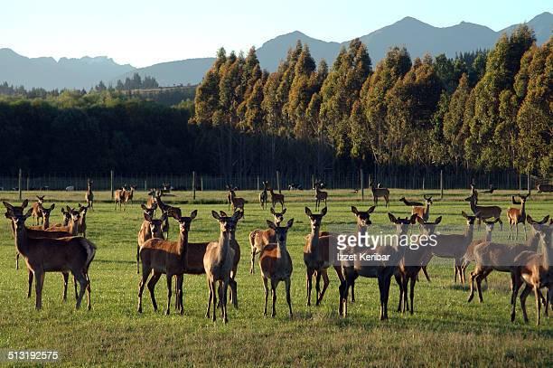 Deer Farming, Southland Region, South Island